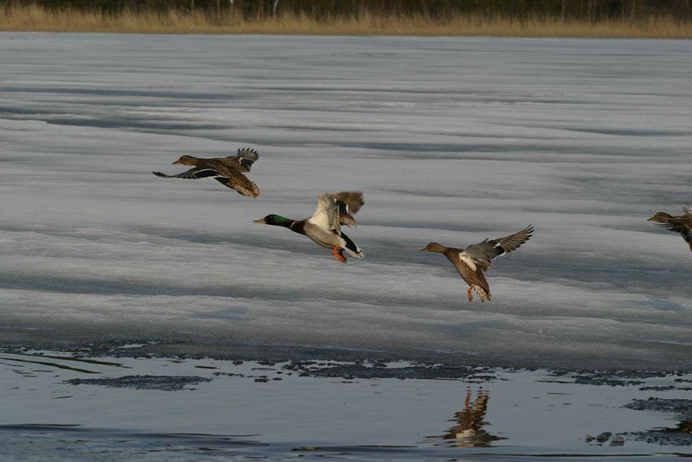 Нормы и цены на добычу охотничьих ресурсов в период весенней охоты 2021 года.